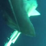 ホホジロザメが水中ドローンを強襲…パニック映画のような臨場感