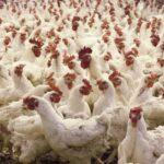 養鶏世界大手が300万匹の鶏の産卵管理に「乳母ロボット」導入…巡回して体温測定