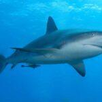 人食いサメを発見するAI搭載ドローンを実戦投入…オーストラリア