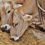 進む「データ畜産」…家畜の疫病早期発見や飼育工程管理にAI活用