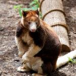 絶滅危惧種をVRで救う…キノボリカンガルーで豪大学が実験