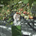 イチゴ収穫ロボットが登場…トランプ&ブレグジットで減った移民労働の代替!?