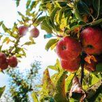 中国で「AIリンゴ栽培」スタート...アリババ子会社が農場と協力