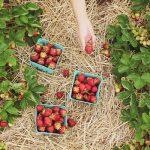 難易度高い「イチゴ収穫ロボット」EUで研究進む