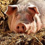 死んだ豚の画像も解析…AIとビックデータ活用した保険・金融商品が増加