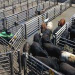 米畜産大手・カーギルが牛を追い込む「カウボーイロボット」導入